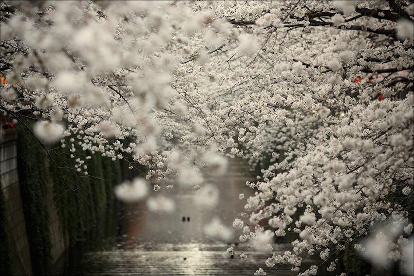 @Meguro River — in Tokyo, Japan.