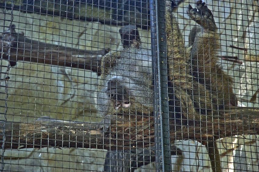 chisinau-zoo-primats