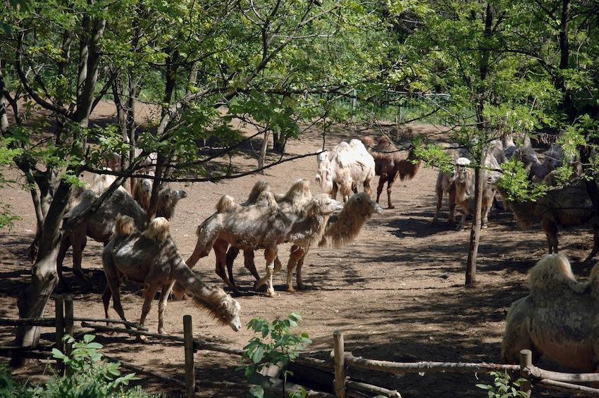 chisinau-zoo-verbliud