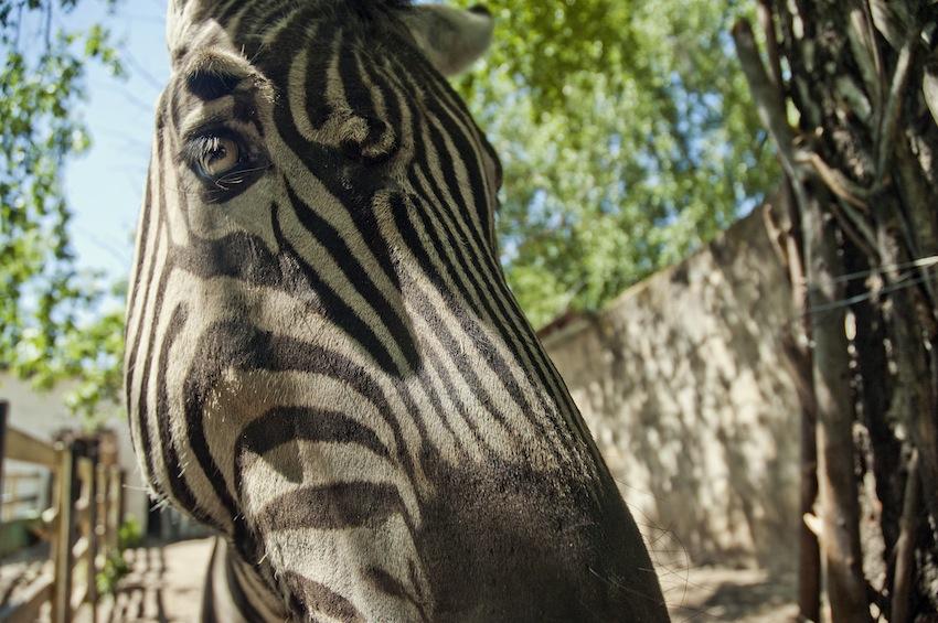 chisinau-zoo-zebra-01