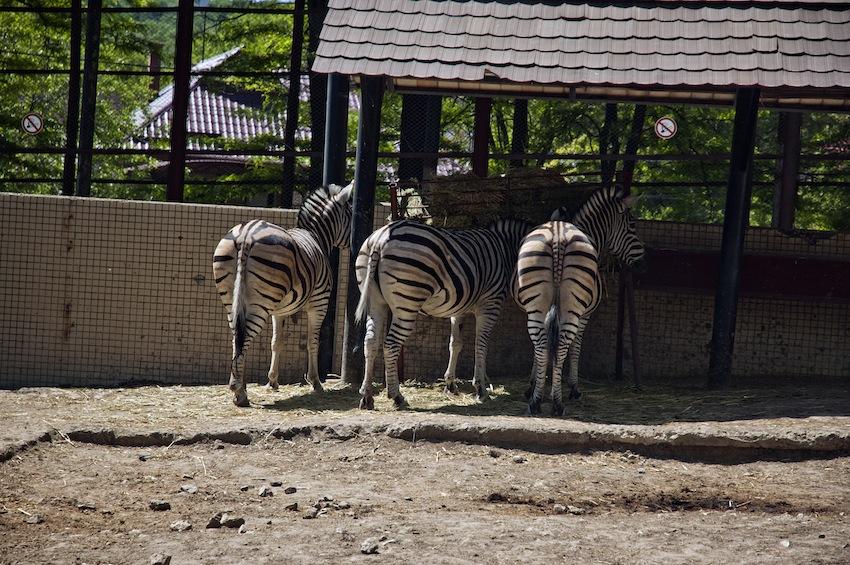 chisinau-zoo-zebra02