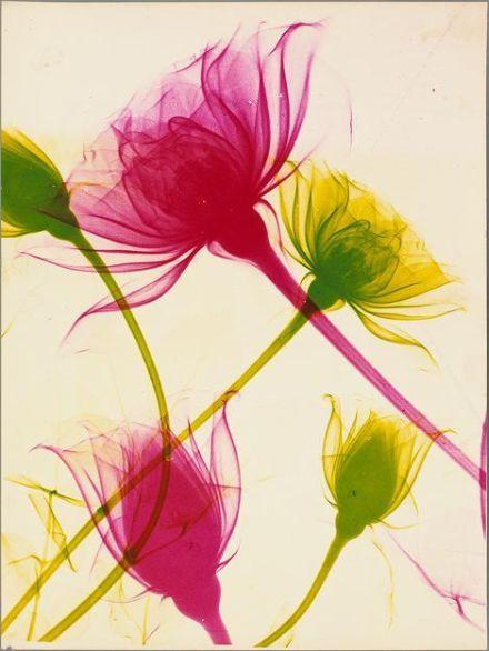 KITROSSER Isaac. Roses, procédé chromogène. (Musée Français de la Photographie)
