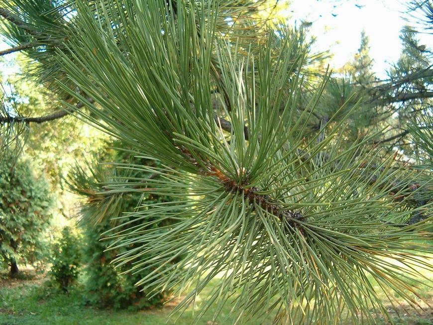 Pinus nigra 01