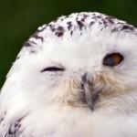Восточное побережье США заполнили полярные совы