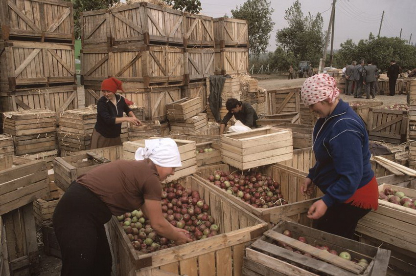 MOLDAVIA. Oknitsa. Harvested apples. 1988.