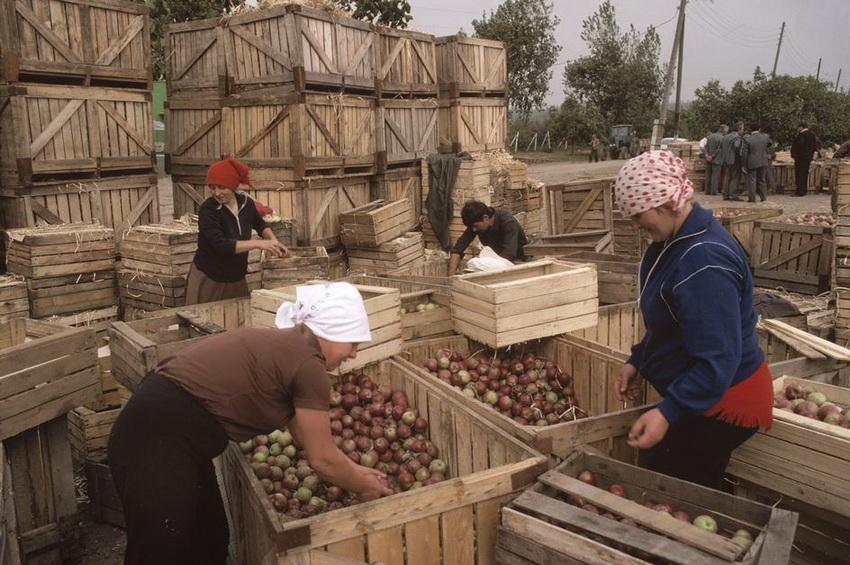MOLDAVIA. Oknitsa. Harvested apples. 1988.