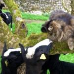 Командир овечьего батальона – кот-пастух