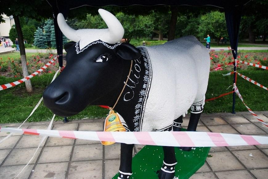 cows 22locals