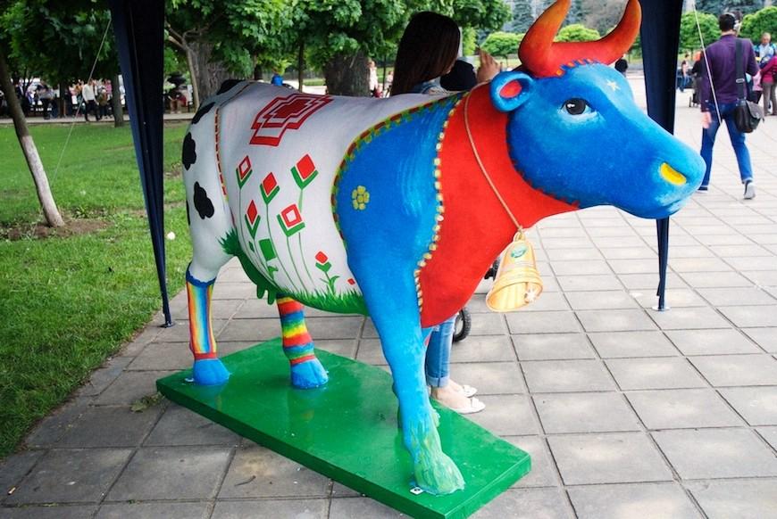cows 36locals