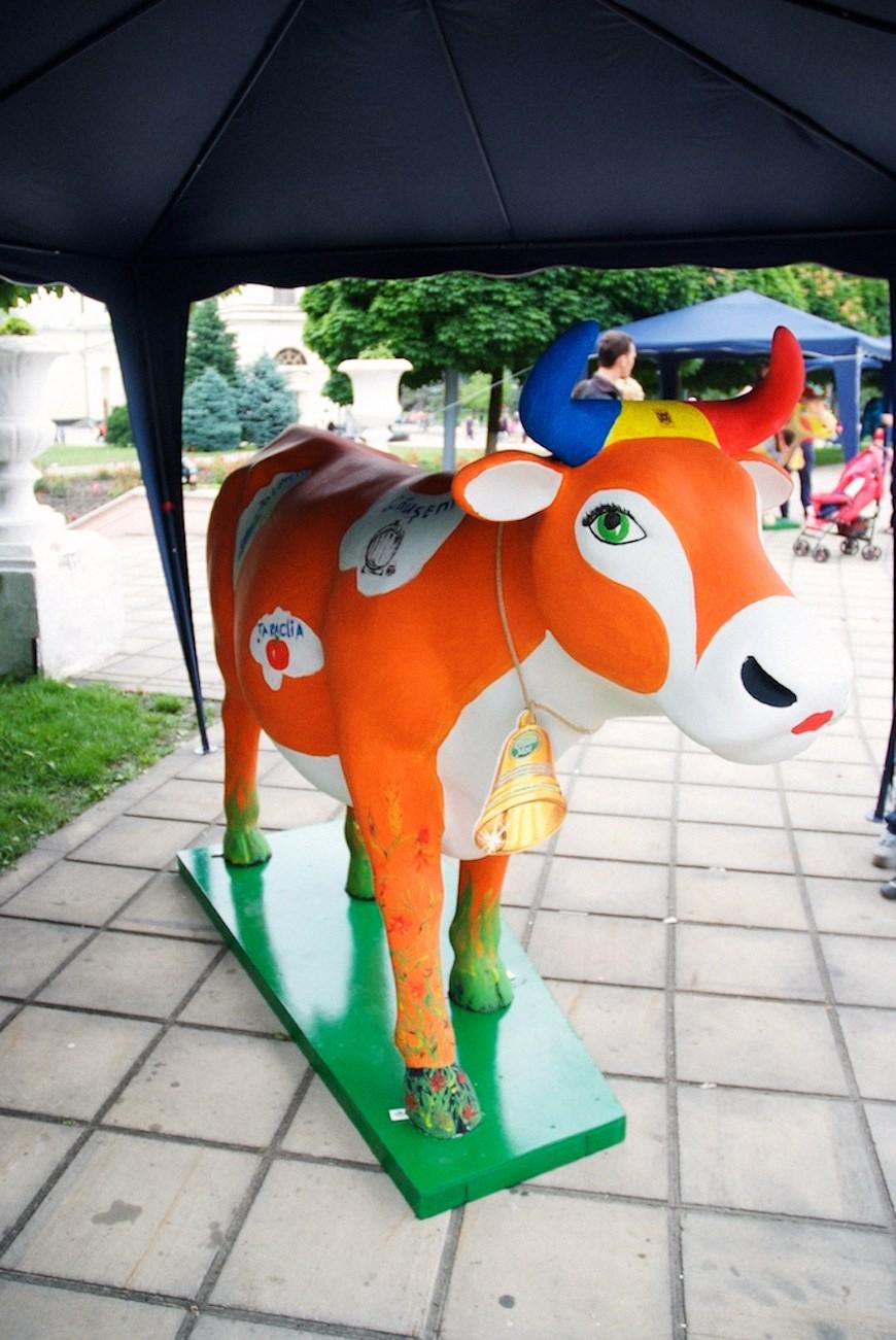 cows 5locals