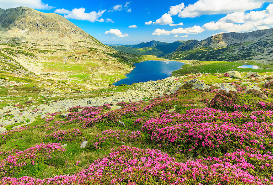 Beautiful rhododendron flowers and Bucura mountain lakes,Retezat mountains,Romania
