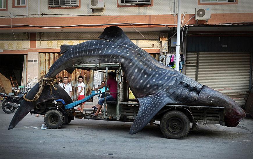 Рыбак с уловом — китовой акулой. Китай, 1 августа 2014 года.