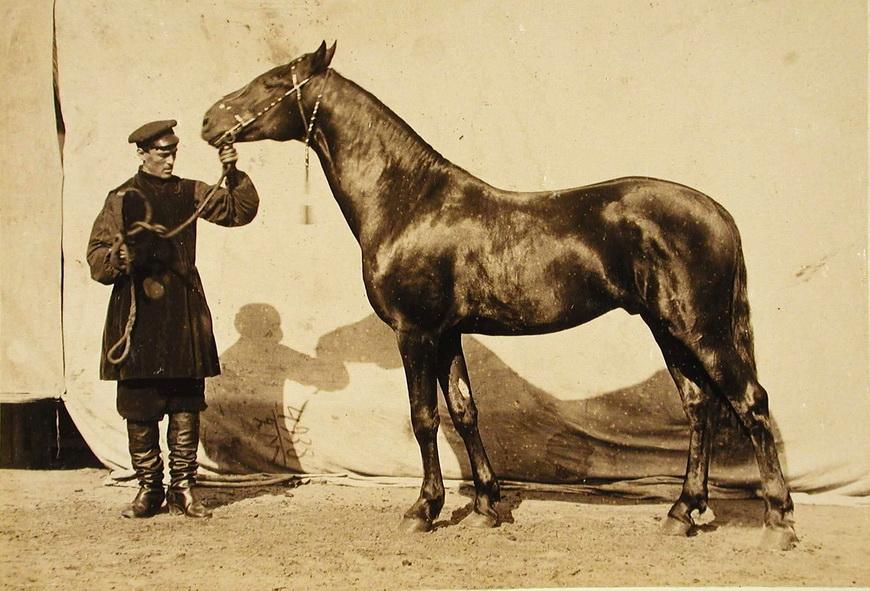 Жеребец конного завода Суручана, экспонирующийся на выставке.