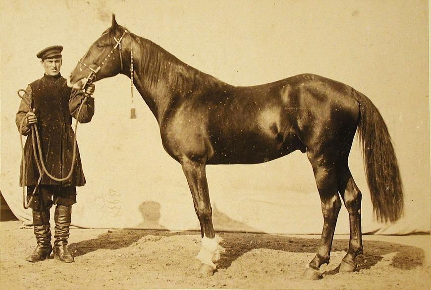 Жеребец конного завода Суручана и Бузни, экспонирующийся на выставке.