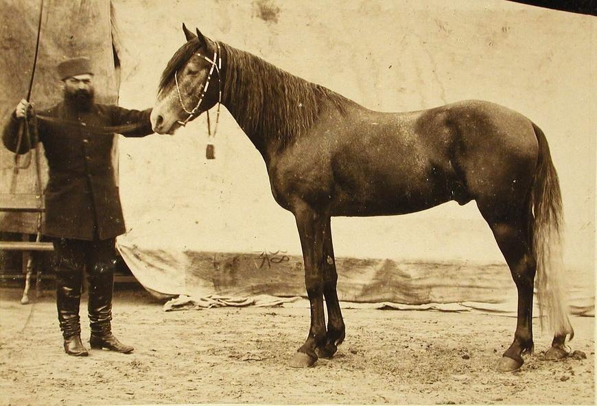 Жеребец конного завода Бузни, экспонирующийся на выставке.
