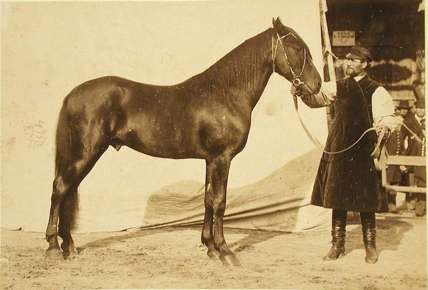 Жеребец конного завода Руссо, экспонирующийся на выставке.