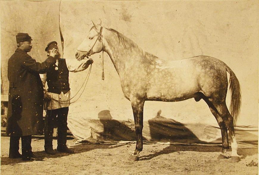 Жеребец конного завода Феодосьева и Суручана, экспонирующийся на выставке.