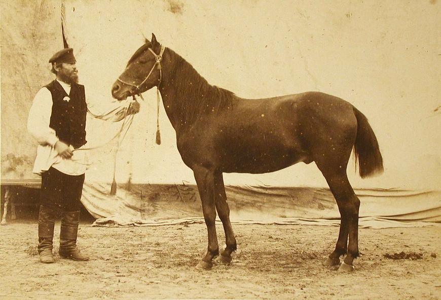 Жеребец конного завода Феодосьева, экспонирующийся на выставке.