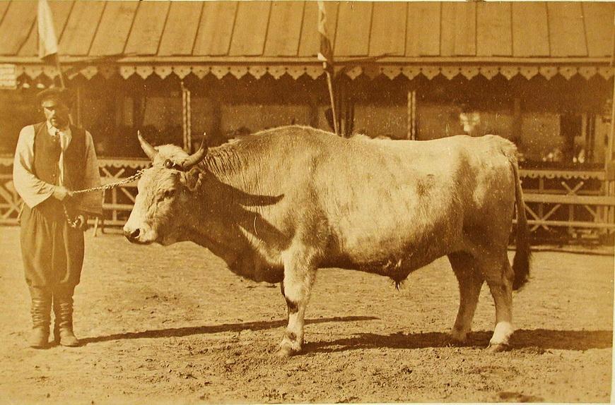 Племенной бык завода Семиградова, экспонирующийся на выставке.