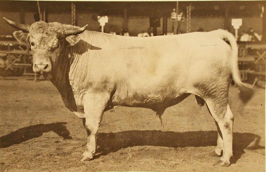 Племенной бык завода Бродского (Екатеринославской губ.), экспонирующийся на выставке.