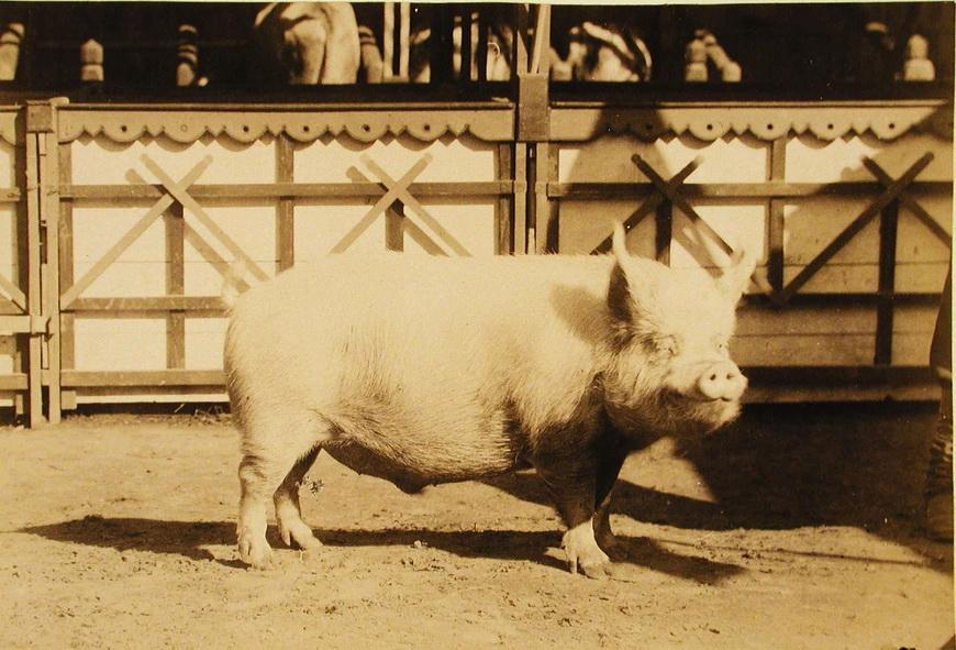 Свиноматка завода Семиградова, экспонирующаяся на выставке.