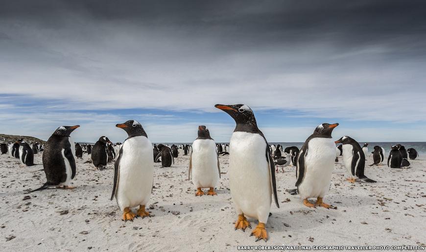 Зарисовка из жизни пингвинов на Фолклендских островах признана лучшей в номинации Животные. Барри Робертсон