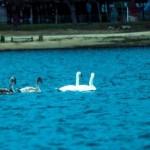 На Комсомольском озере появились лебеди