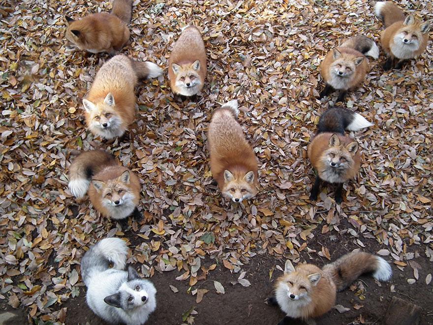 zao-fox-village-japan-wcth01