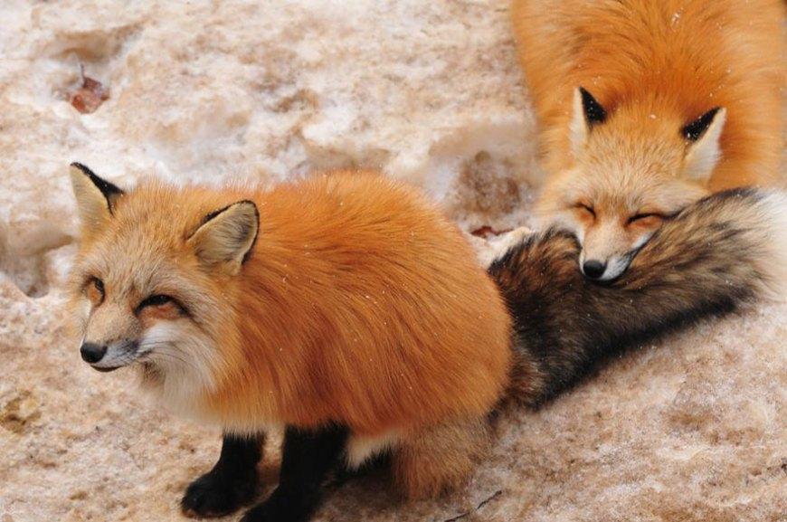 zao-fox-village-japan-wcth08