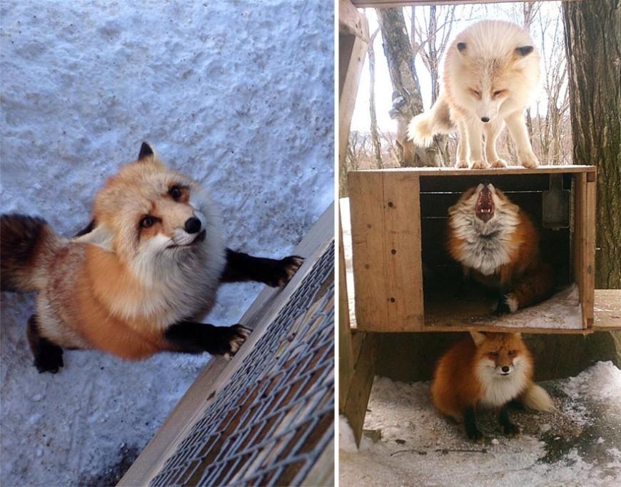 zao-fox-village-japan-wcth09