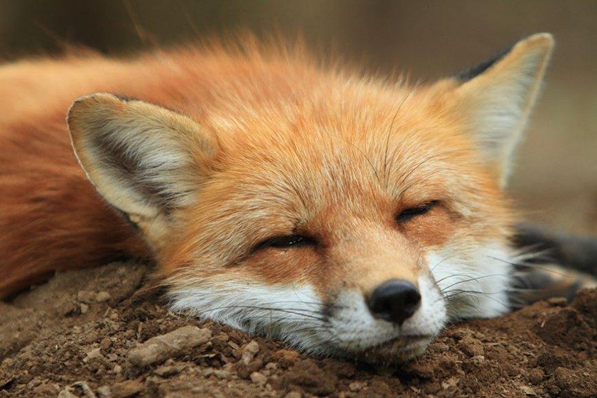 zao-fox-village-japan-wcth10