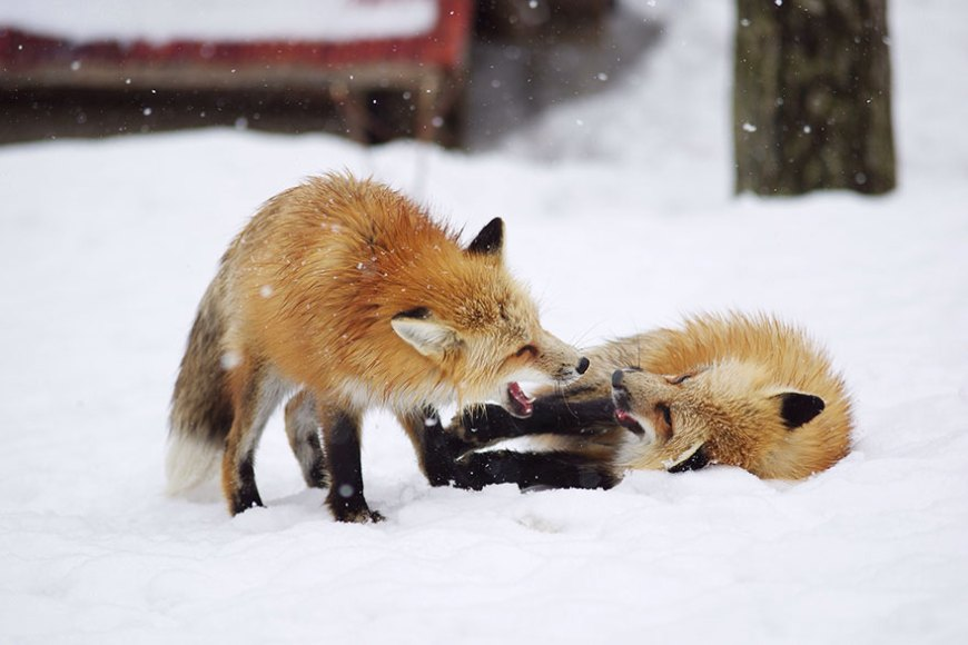zao-fox-village-japan-wcth11