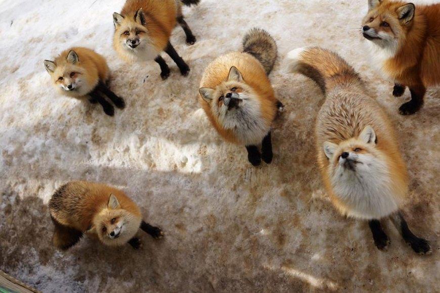zao-fox-village-japan-wcth13