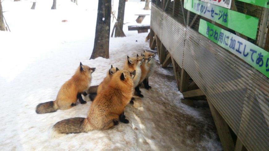 zao-fox-village-japan-wcth17
