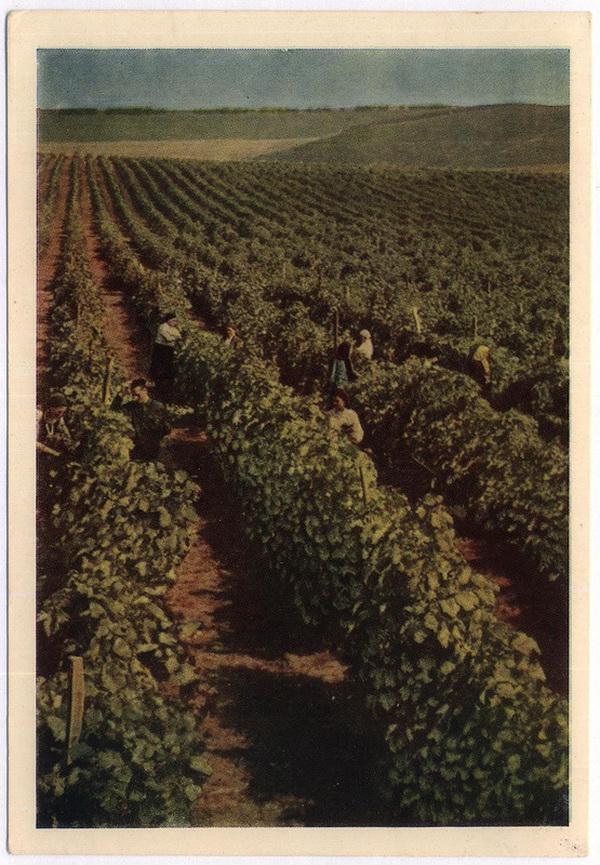 Виноградники (фото А.Шапиро)