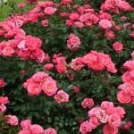 В Кишинёве будут посажены более 20 тысяч кустов розы