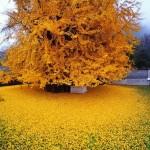 Последний привет осени: 1400-летнее дерево в китайском храме