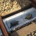 Японские железнодорожники построили тоннель для черепах