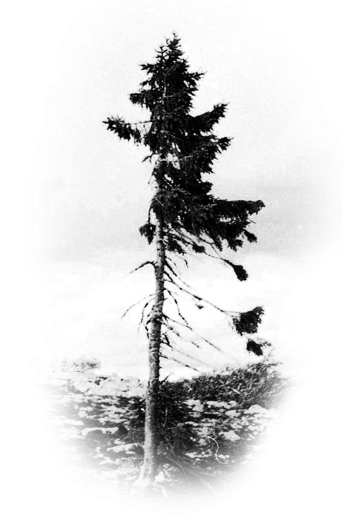 oldest-tree-old-tjikko-sweden-25