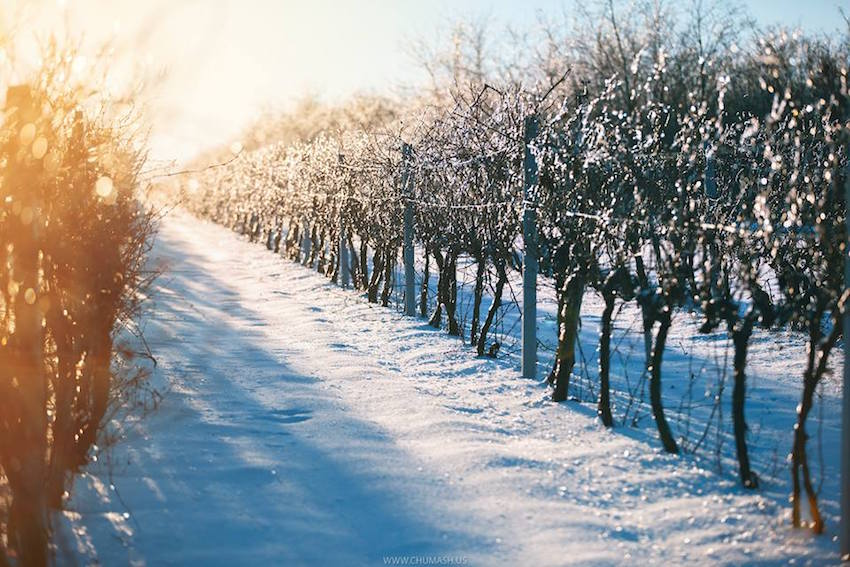 chumash-Зимние молдавские виноградники — at Salcuta.