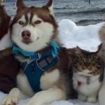 Три собаки хаски подружились с котом после спасения его от смерти