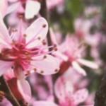 FOTO: Aroma florilor de magnolie în parcurile din Chișinău