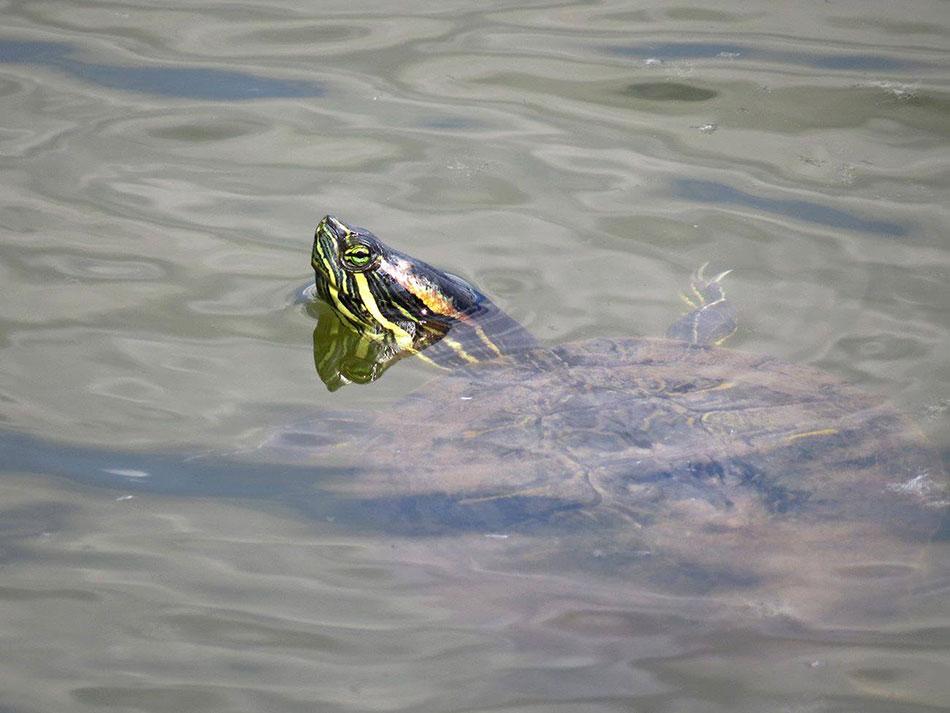 turtle_koms_ozero