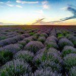 Фото дня: Лавандовое поле в Кобушка Ноуэ