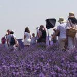 FOTO: Lavender Fest 2016