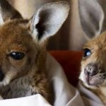 Спасатель кенгуру из Австралии публикует фото мимимилых подопечных в своем Instagram-e