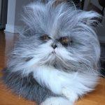 Котопес какой-то: Похожий на пса персидский кот озадачил интернет-пользователей