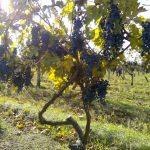 Коротко и ясно: чем вино Late Harvest отличается от Ice-wine