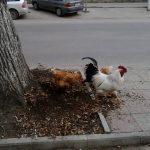 Фото дня: Петух и две курочки в центре Кишинёва