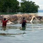 Видео: на побережье Индонезии выбросило гигантское морское животное